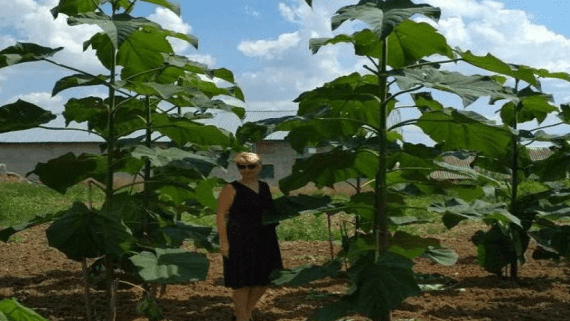 У Тернопільській області працює перша в Україні ферма енергетичних рослин